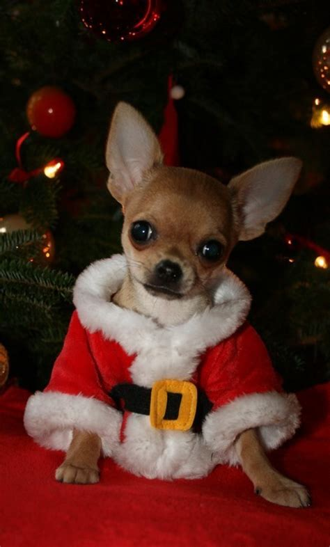 chihuahua christmas wallpaper wallpapersafari