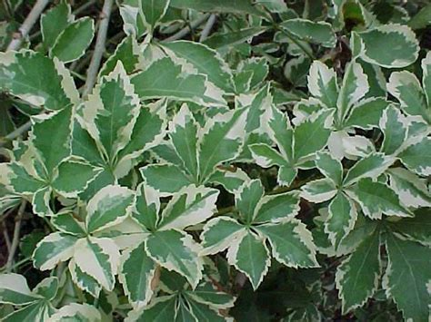 plants for shade variegated plants for shade