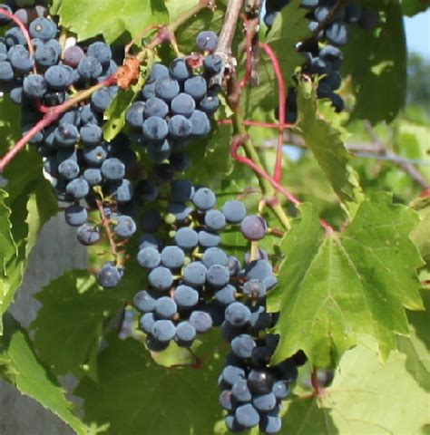 St Vines Cc File Frontenac Grapes Png Wikimedia Commons