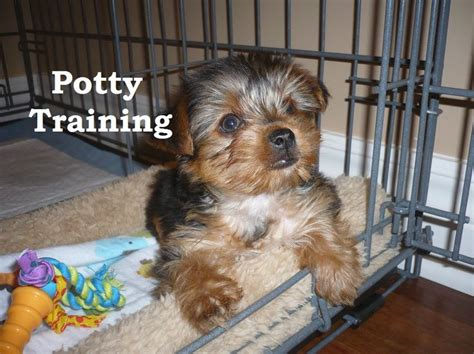 are yorkies easy to potty 78 besten potty a puppy bilder auf hunde husky welpen und