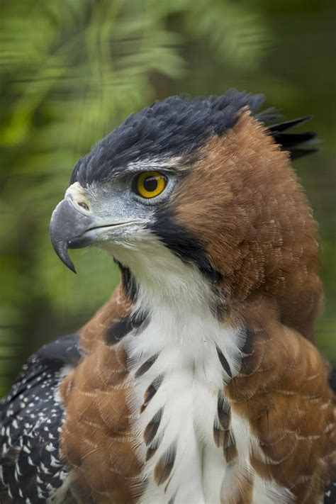 25 best ideas about african crowned eagle on pinterest