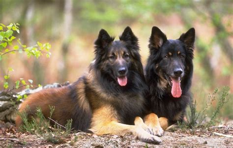 average lifespan of a german shepherd all list of different dogs breeds the german shepherd