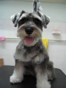 schnauzer hair styles 25 best ideas about schnauzer grooming on pinterest