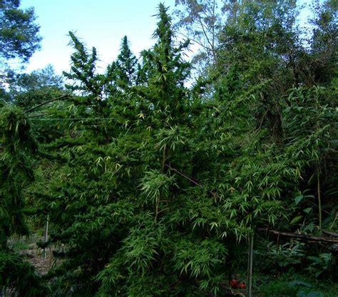 poda marihuana interior como podar y doblar las plantas de marihuana