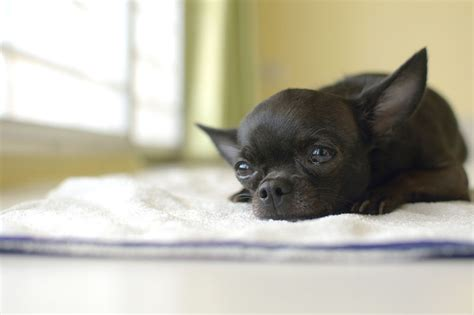 cani di piccola taglia da appartamento adatti ai bambini i 10 cani di piccola taglia pi 249 adatti a vivere in