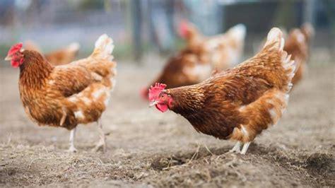 quali sono gli animali da cortile appello urgente quot tuteliamo gli animali da reddito e