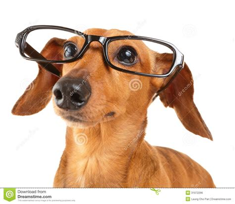 puppy with glasses dachshund with glasses up royalty free stock image image 31972296