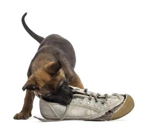 how to a to stop chewing shoes why is my stealing things argos pet insurance