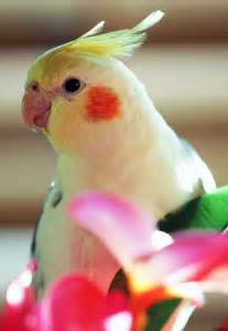 Good Pet Birds for Pinterest