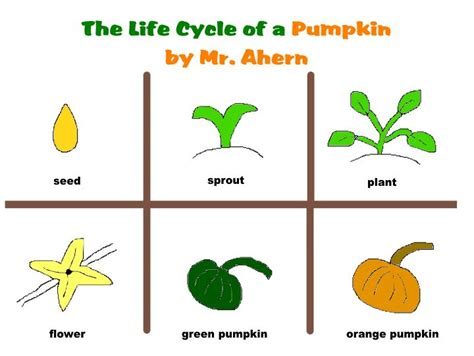 coloring pages of life cycle of pumpkin pumpkin life cycle clipart clipart suggest