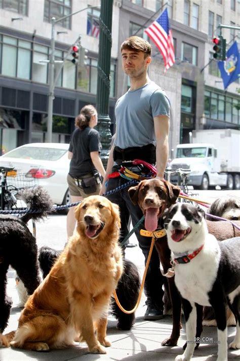 daniel radcliffe dogs daniel radcliffe 233 visto fumando enquanto passeia 12 cachorros em ny portal