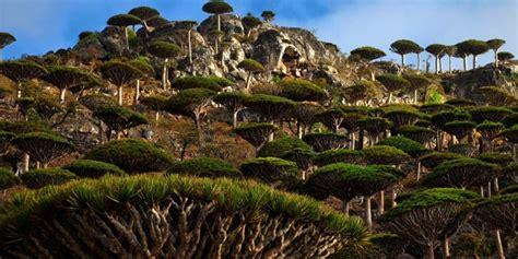 Payung Terbalik Makassar begini cantiknya 9 pohon paling unik di berbagai belahan