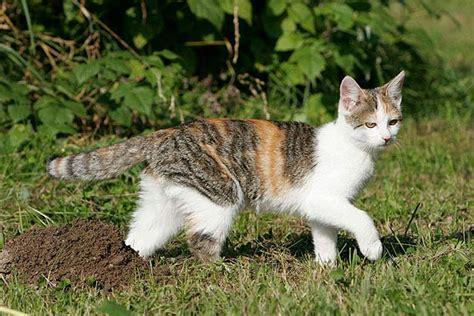 ruhige katzenrassen wohnung kleine katzenrassen und die kleinste katze der welt
