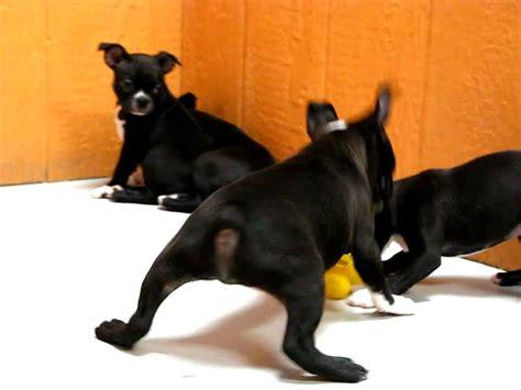 puppies for sale in santa clarita boston terrier puppies for sale in san jose california ca ontario santa rosa