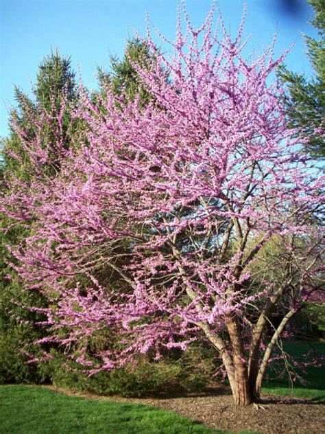 28 best eastern redbud varieties redbud tree bing images eastern redbud tree treemories