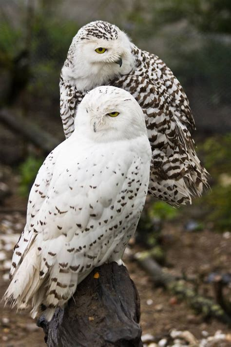 13 facts about the splendid snowy owl treehugger