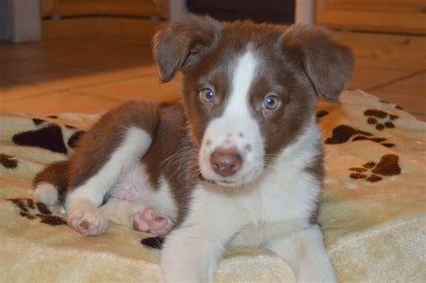 brown border collie puppies brown border collie puppy puppy brown border collie border