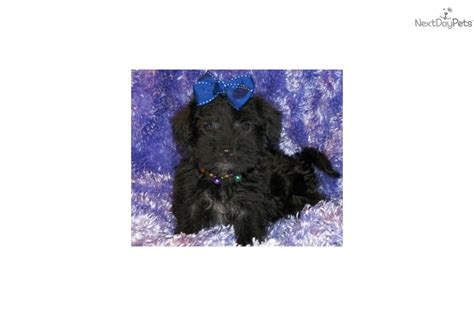 yorkie poo puppies dallas tx yorkiepoo yorkie poo puppy for sale near dallas fort worth ed417b5a ec91