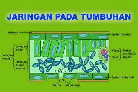 fungsi kapasitor pada jaringan 5 fungsi sistem jaringan pada tumbuhan meristem pengangkut dll