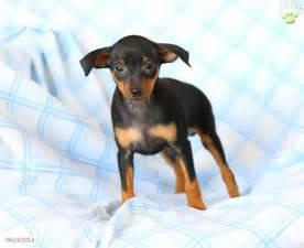 free miniature pinscher puppies miniature pinscher puppies for sale 20 free hd wallpaper dogbreedswallpapers
