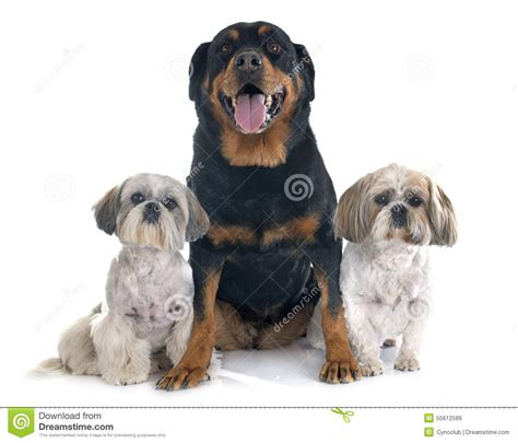 shih tzu rottweiler shih tzu and rottweiler stock photo image 55612589