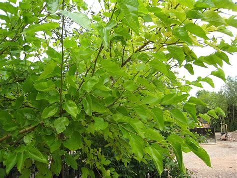 top 28 mulberry tree height dwarf mulberry tree black
