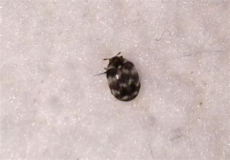 Carpet Beetles Do They Bite by Varied Carpet Beetle Bites Images
