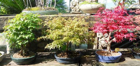 salice piangente in vaso cura e mantenimento bonsai posizione annaffiatura