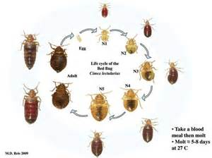 Can Rubbing Alcohol Kill Bed Bugs Bed Bugs Aren T Just In Hotels K 9 Sweeps Llc In Las