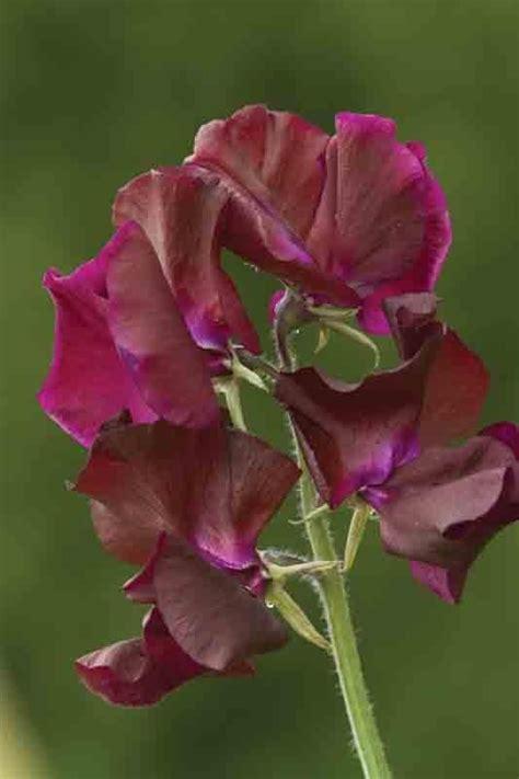 lathyrus odoratus midnight geurplanten pinterest