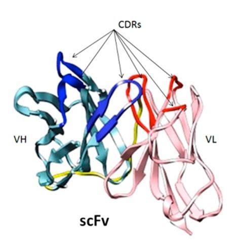 cadena en ingles que significa bancos de anticuerpos recombinantes de origen humano una