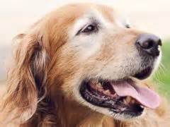 golden retriever heavy panting the about water and dogs abc news