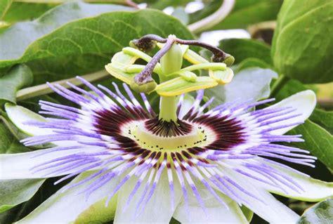 fiore frutto della passione maracuja o frutto della passione per mantenersi giovani e