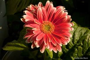 Gerber Daisies by Gerber Daisy S Grow Your Own Subjects Designerfied Com