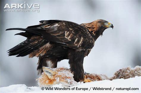 Wedges Pinus tierra de 225 guilas halcones aguiluchos y otras rapaces