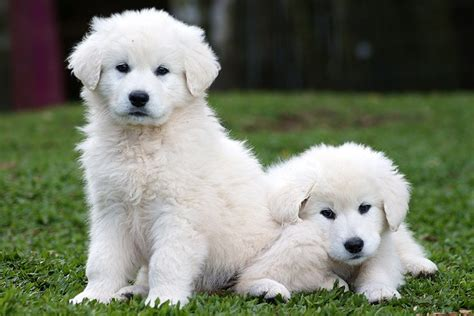 kuvasz puppies kuvasz puppy pictures and images pets world