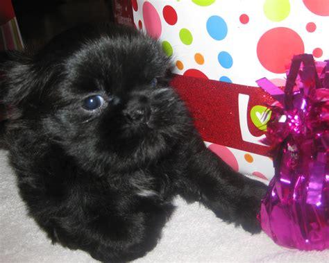 shih tzu breeders toronto shih tzu puppies shihtzubreederlistcom breeds picture