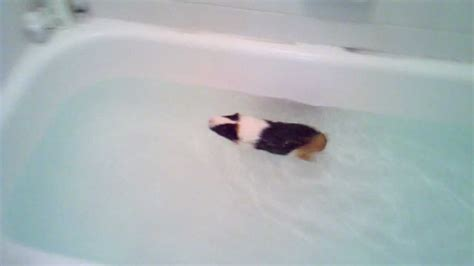pig in a bathtub guinea pig swimming in a bath tub youtube