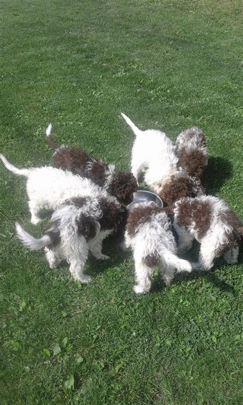 lagotto romagnolo puppies for sale puppies for sale lagotto romagnolo dogshows