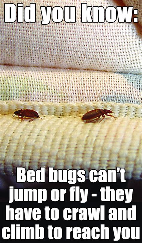 does bed bugs jump do bed bugs jump 28 images how far a cockroach can