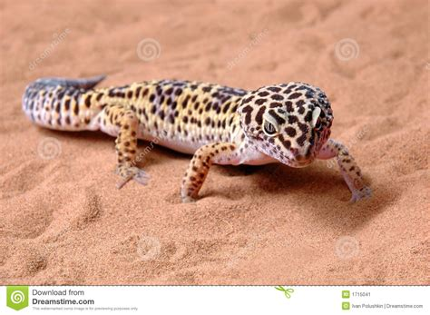 leopard gecko heat l gecko leopard on sand stock image image of sunlight