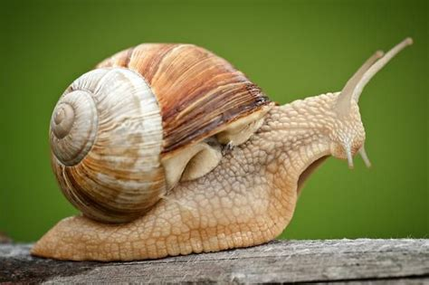 un caracol a snail بحث حول حياة الحلزون المرسال