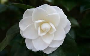white camellia flowers pinterest