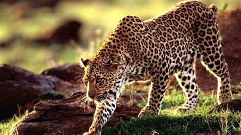 leopard wallpaper pinterest beautiful leopard pictures photos and images for