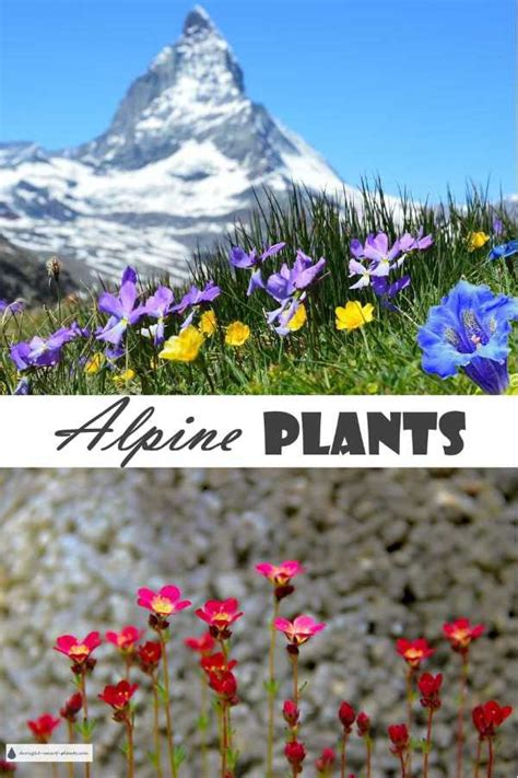alpine plants  trough gardens rock gardens crevices