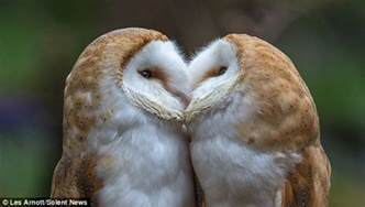 live barn owl sisterly display of affection as barn owls are on