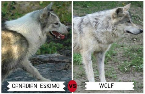 wolf breeds list wolf breeds list images