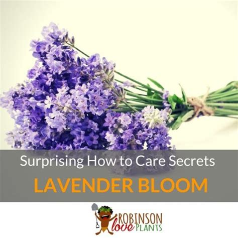 top 28 how to care for lavender bushes how to tips on growing lavender 25 best ideas about