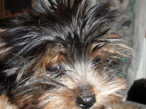shih tzu by elaine past puppys shih tzu s by elaine