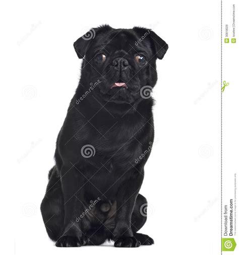 pug 1 year pug 1 year sitting and facing royalty free stock images image 30818029